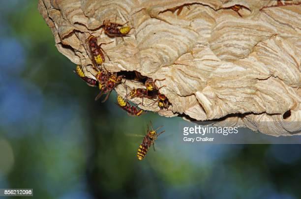 hornets [vespa crabro] nest - nido di vespe foto e immagini stock