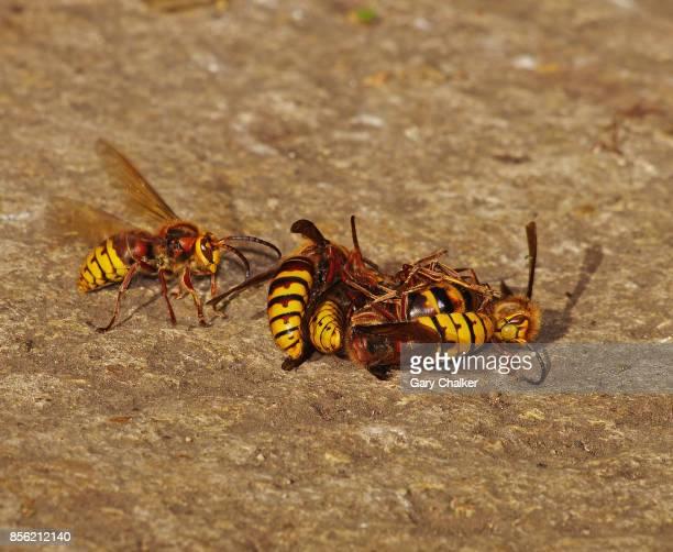 Hornets [Vespa crabro]