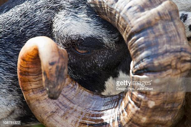 horns on a sheep - ram animal stock photos and pictures