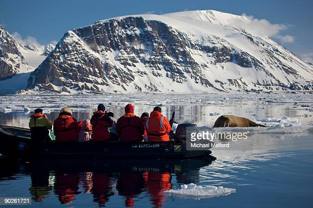 ecotourists observe a female walrus on ice. - walrus stock photos and pictures
