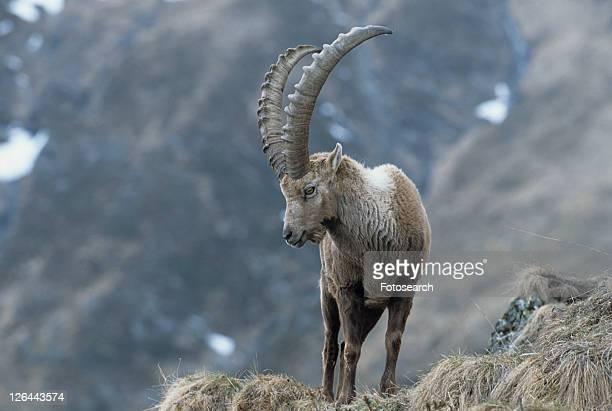 horntraeger, alpenbewohner, alpensteinbock, alpentier, alpine, animal