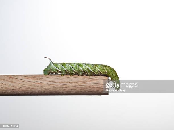 Hornworm crawling to the end of wooden dowel.