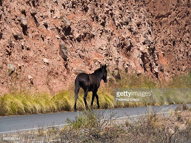 Horse ambling on famous road Ruta 40 in Northern Argentina