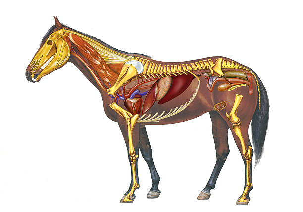 Horse Anatomy Drawing Pictures Getty Images