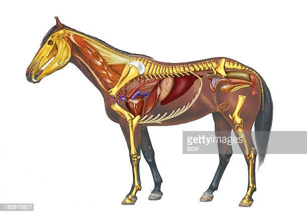 Horse Anatomy Drawing