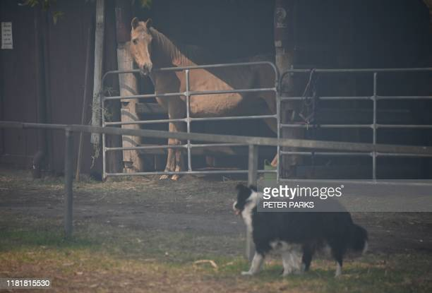 A horse and a dog are seen at a shelter from bushfires at the showgrounds in Taree 350km north of Sydney on November 12 2019 A state of emergency was...