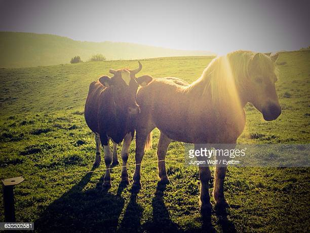 Horse And Cow On Grassy Field