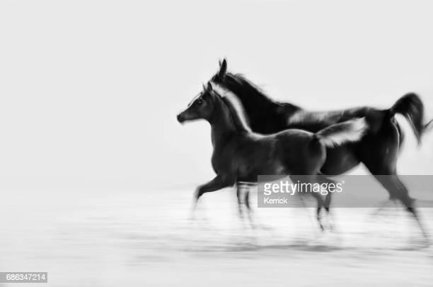Pferd und Fohlen galoppierenden - Schwarzweiß, Sepia, vintage