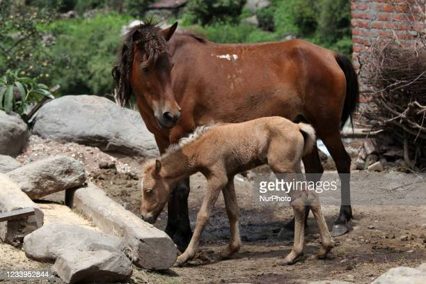 Horse and its foal in the remote mountain village of Broat in Himachal Pradesh, India, on July 04, 2010.