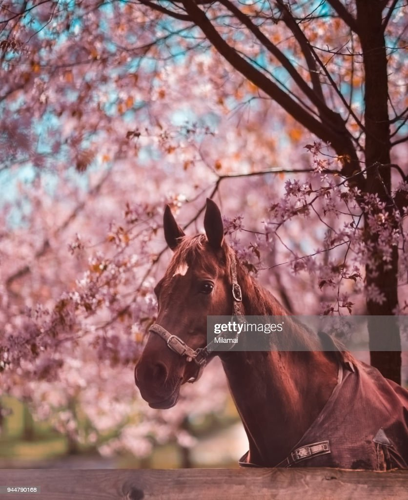 Horse and pink cherry blossoms : Stock Photo