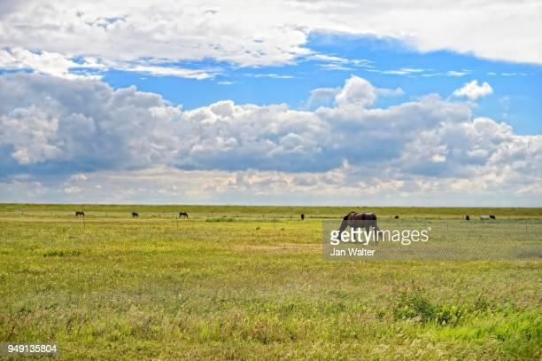 horse at the dike on salt marshes, langeoog, east frisian islands, germany - insel langeoog stock-fotos und bilder
