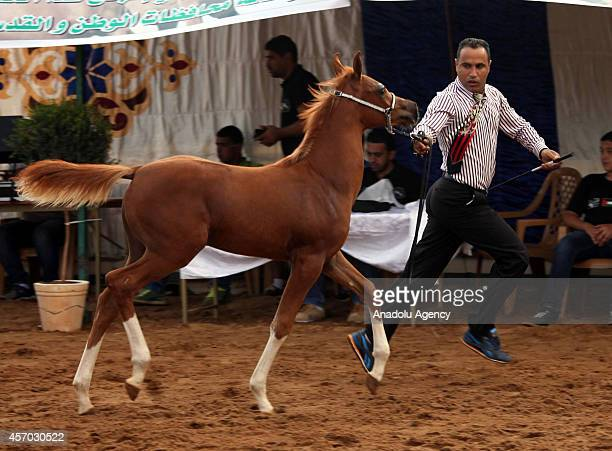 A horse beauty pageant is held by Palestinian Equestrian Federation in Jericho West Bank on October 10 2014