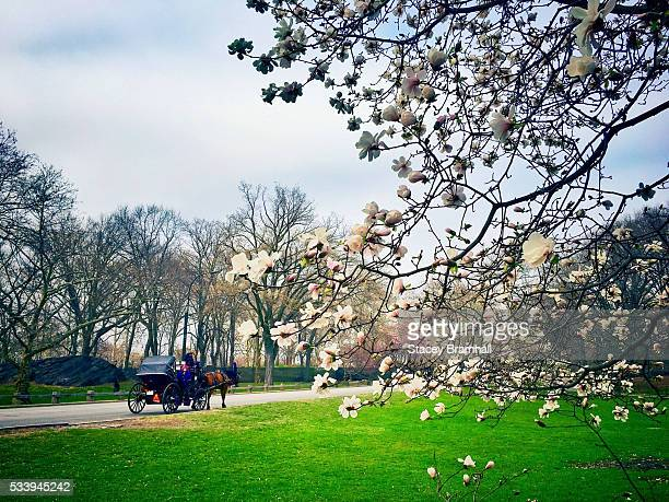 A horse carriage rides by blooming trees in New York City's Central Park during springtime