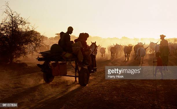 horse cart and cattle in the dust - harry herd stock pictures, royalty-free photos & images