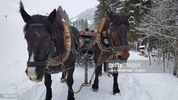 horse cart on snow field by trees during winter - animal powered vehicle stock photos and pictures