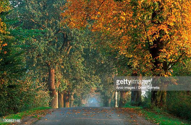 Horse Chestnut Avenue in autumn, Mecklenburg Western-Pommerania, Germany / (Aesculus hippocastanum)