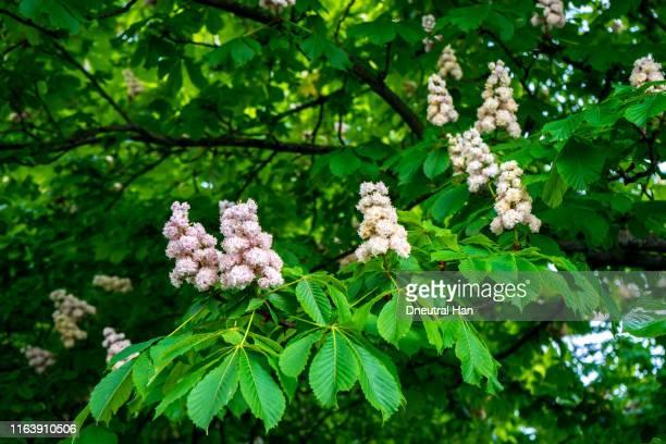 horse chestnut flowers in the sunlight in spring - kastanie laubbaum stock-fotos und bilder