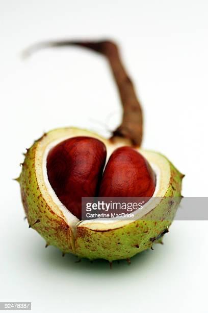 horse chestnut in capsule, close-up - catherine macbride stock-fotos und bilder