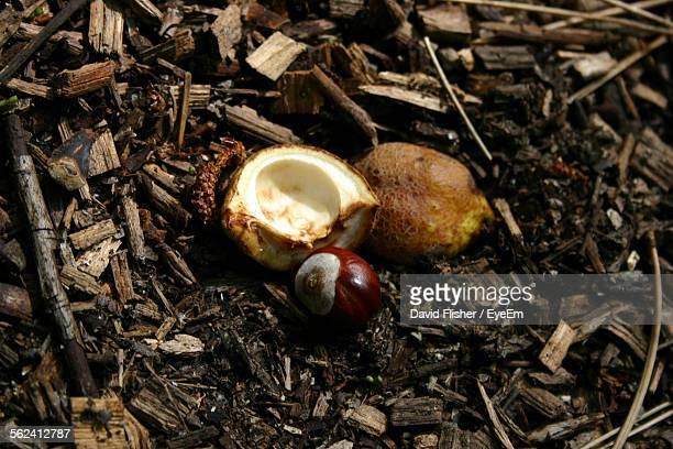 Horse Chestnut On Field With Woods