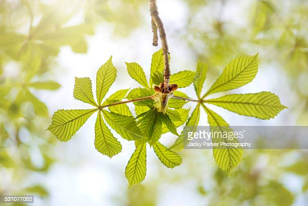 horse chestnut spring green leaves - picture of a buckeye tree stock photos and pictures