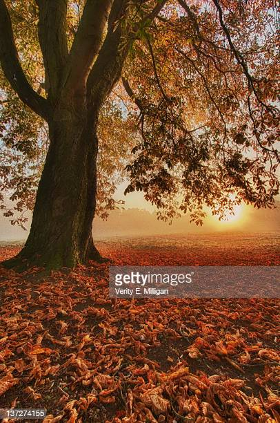 horse chestnut tree at dawn - northamptonshire stock pictures, royalty-free photos & images