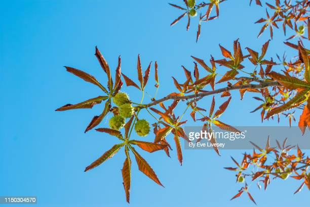 horse chestnut tree branch - kastanie laubbaum stock-fotos und bilder