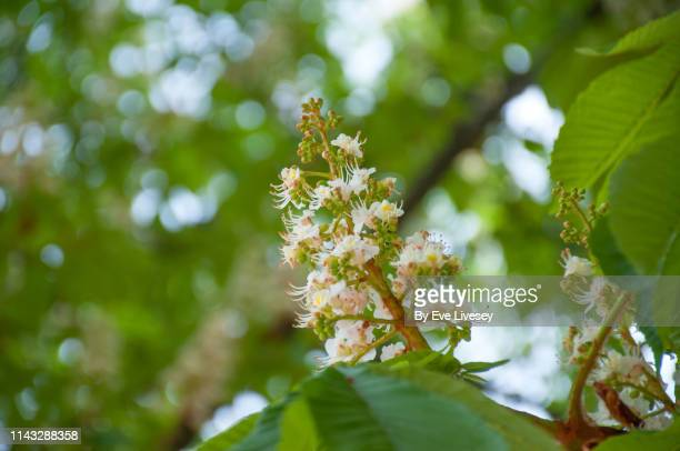 horse chestnut tree flowers - picture of a buckeye tree stock photos and pictures
