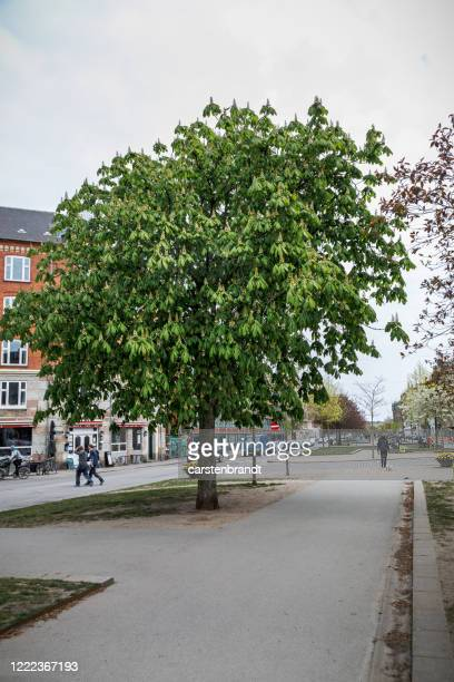 horse chestnut tree in a boulevard - avenue stock pictures, royalty-free photos & images