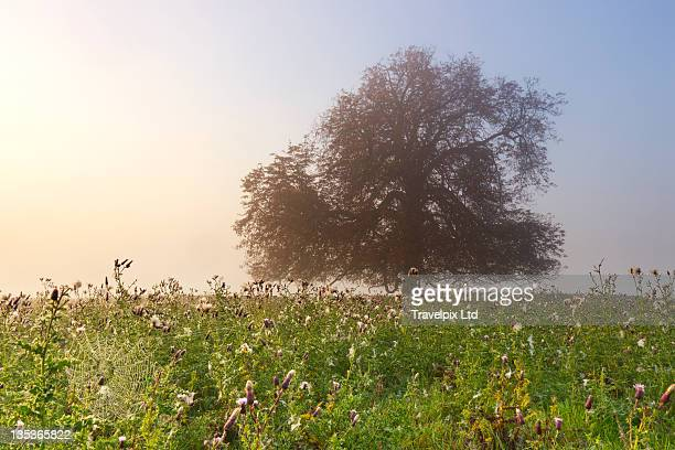 horse chestnut tree, misty morning - picture of a buckeye tree stock photos and pictures