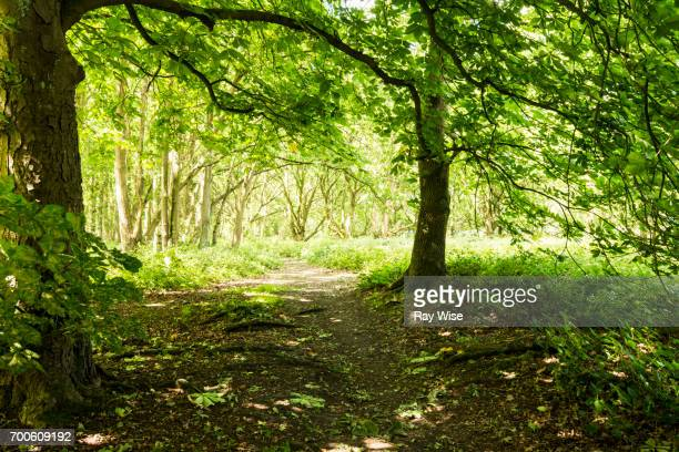 horse chestnut tree on a trail through epping forest. - picture of a buckeye tree stock photos and pictures