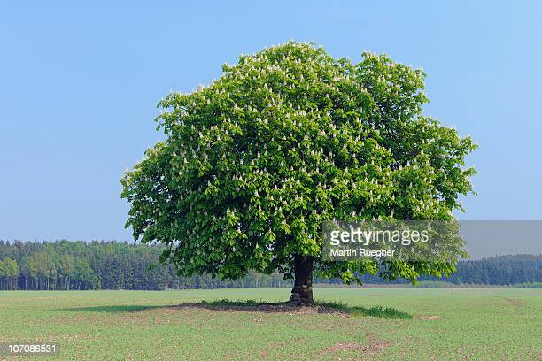 horse chestnut tree (aesculus hippocastanum). - picture of a buckeye tree stock photos and pictures