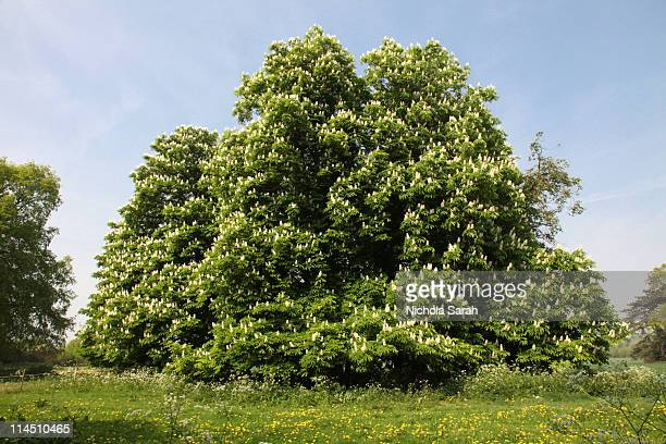 horse  chestnut  trees in spring - picture of a buckeye tree stock photos and pictures
