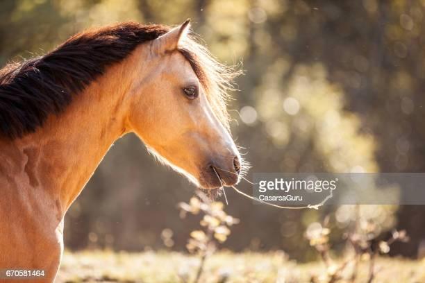 Hästen tuggar halm av hö