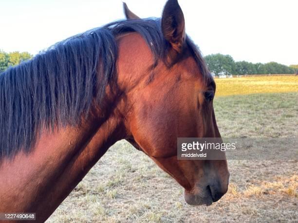 fermeture de cheval vers le haut - accouplement cheval photos et images de collection