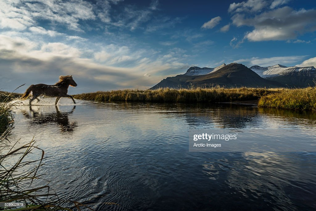 Horse crossing a river, Iceland : Stock Photo