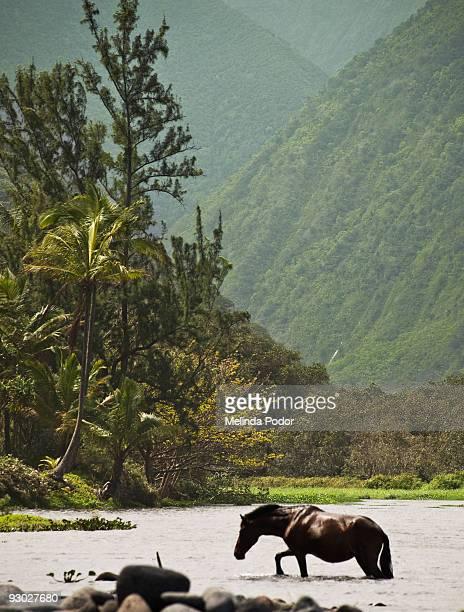 Horse crossing the river in Waipio Valley, Hawaii