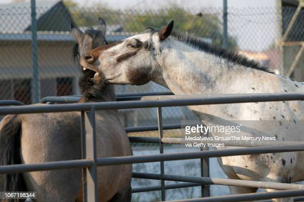 A horse displaced by the Camp Fire playfully bites the mane of another in a corral at a large animal shelter at the Butte County Fair Grounds in...