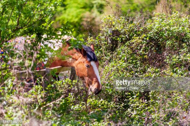 Horse eating brambles over a fence