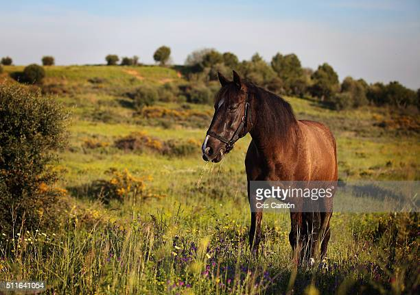 horse eating grass in a field - cris cantón photography stock pictures, royalty-free photos & images