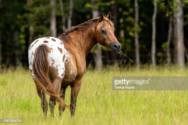 horse eating grass - hairy bum stock pictures, royalty-free photos & images
