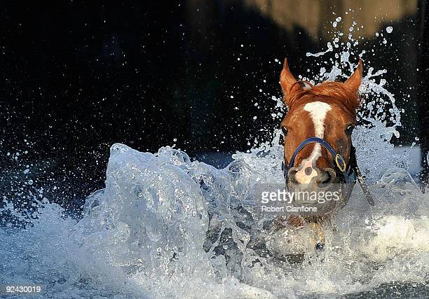 Horse enters the pool during morning trackwork at Flemington Racecourse on October 29, 2009 in Melbourne, Australia.
