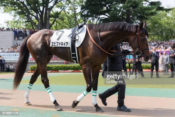Horse Epiphaneia being led around the paddock during Tokyo Yushun at Tokyo Racecourse on May 26 2013 in Tokyo Japan Tokyo Yushun Japanese Derby is...