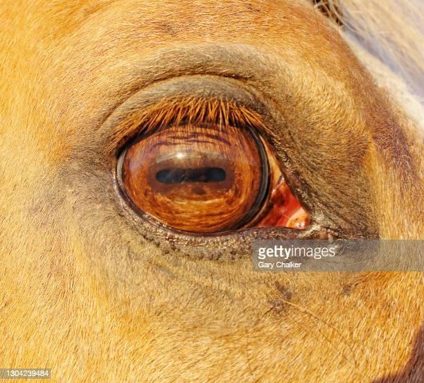 horse eye - animal eye stock pictures, royalty-free photos & images