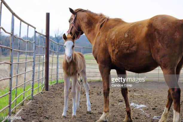 mare with colt for horse breeding