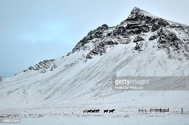 Horse farm under snow near Borgarnes Iceland