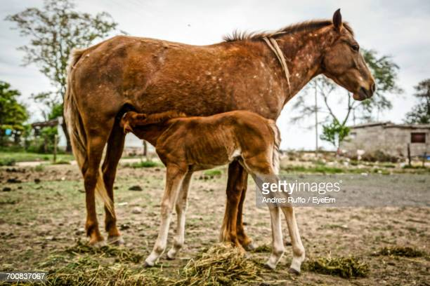 horse feeding foal on field - andres ruffo stock pictures, royalty-free photos & images