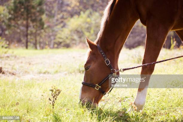 Horse feeding on grass in pasture