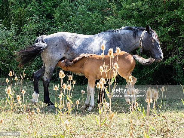 A horse feeds milk to her foal in the field