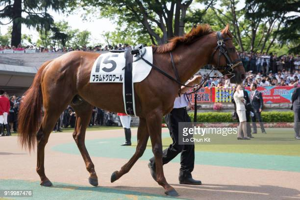 Horse Flamme de Gloire being led around the paddock during Tokyo Yushun at Tokyo Racecourse on May 26 2013 in Tokyo Japan Tokyo Yushun Japanese Derby...