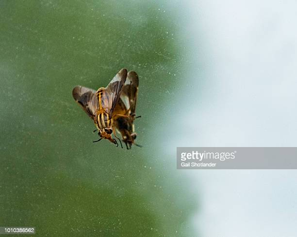 Horse Fly on a Mirror